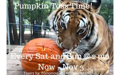 Big Cats Pumpkin Toss at Tigers For Tomorrow